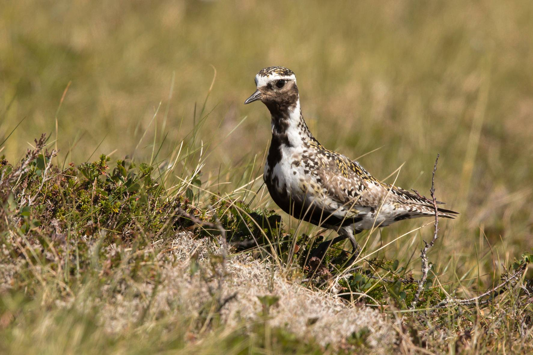 # 375 Goldregenpfeifer am Nest